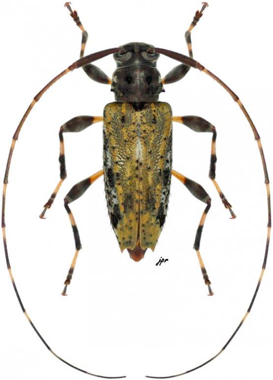 Lithargyrus melzeri