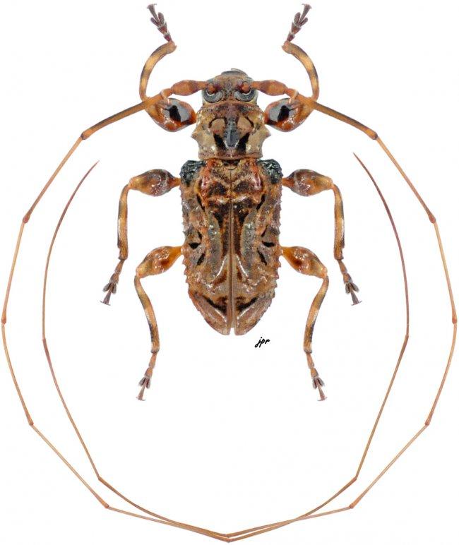 Macronemus asperulus