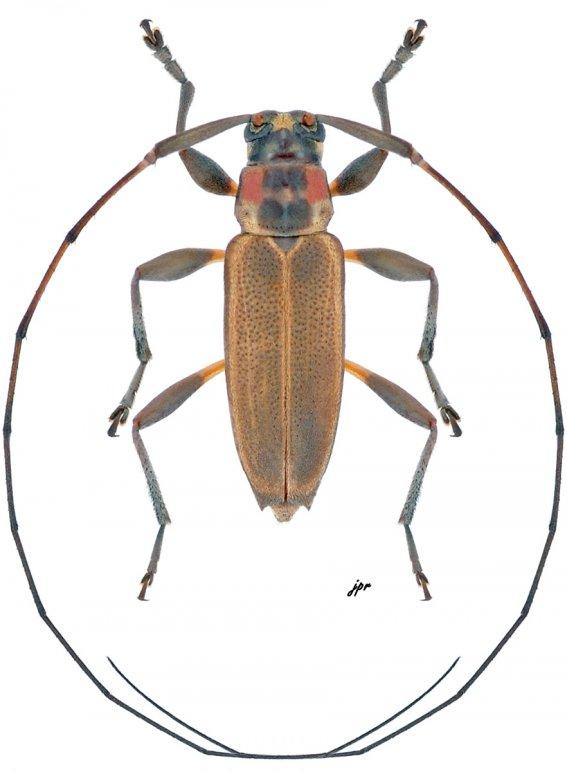 Nyssodectes roseicollis