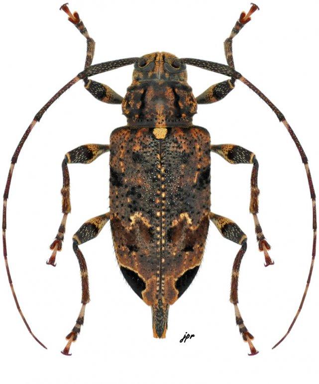 Oedopeza setigera from Nicaragua