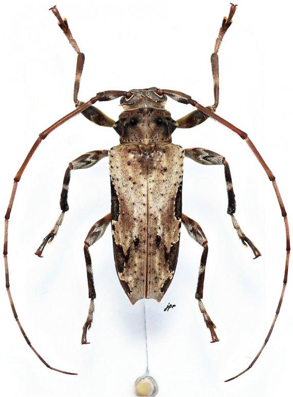 Oreodera bituberculata