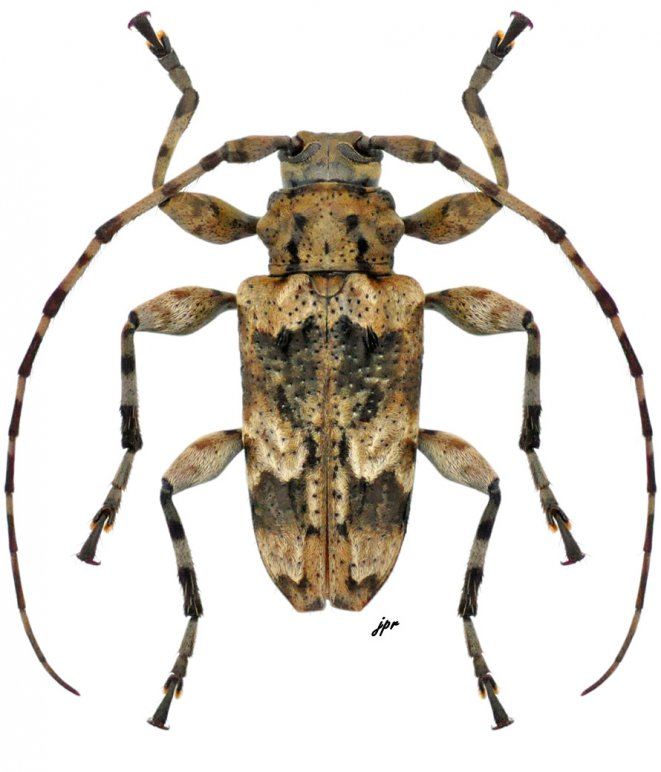 Oreodera costaricensis