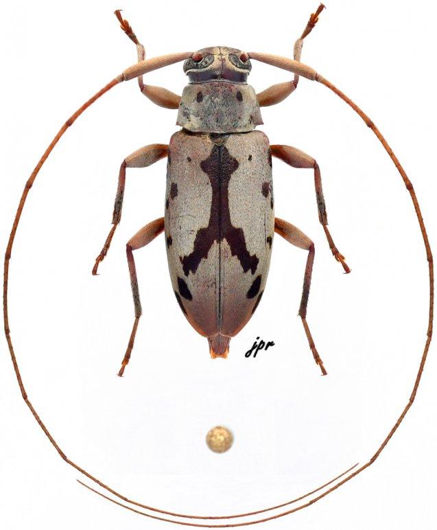 Paroecus