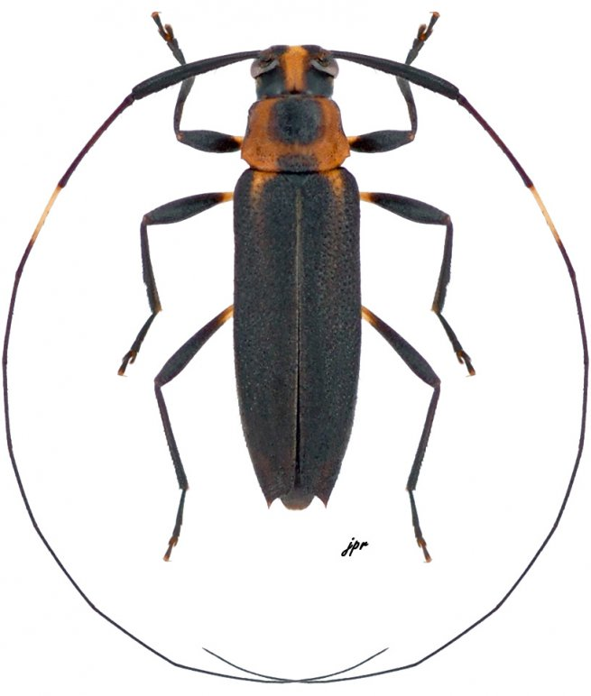 Pseudosparna flaviceps