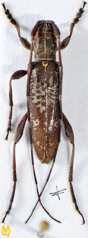 Rondibilis bispinosa