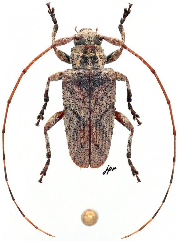 Tephrolamia bourbonia