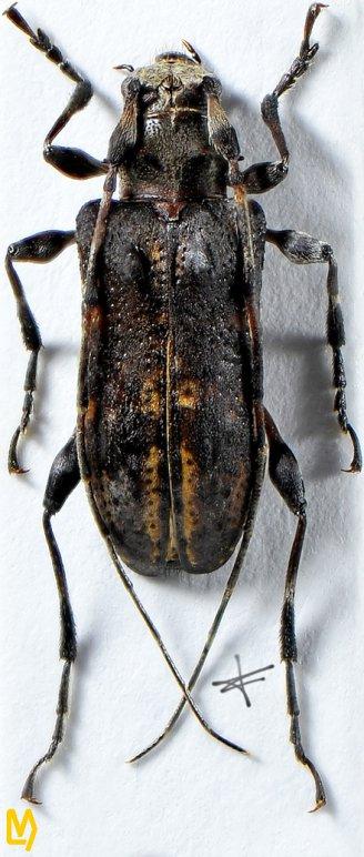 Trichohoplorana tenuipes