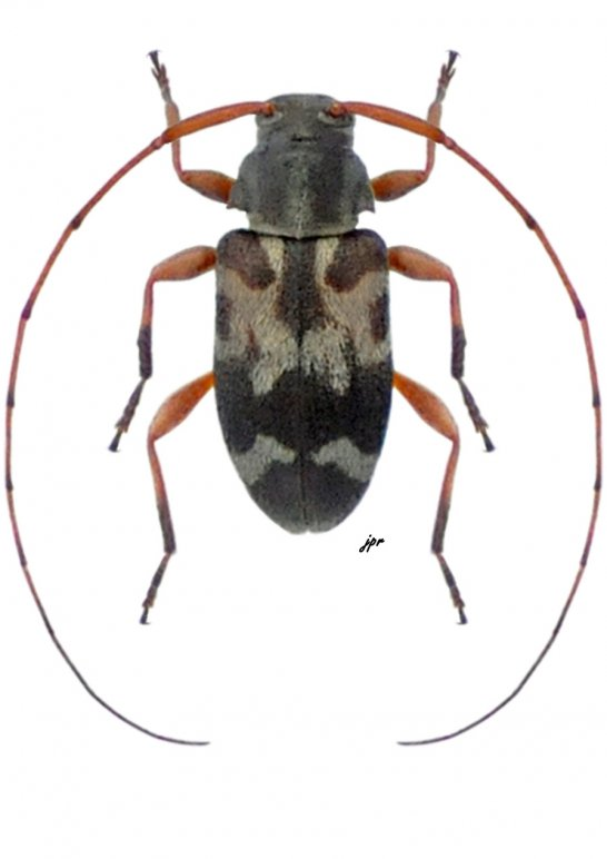 Urgleptes laticollis