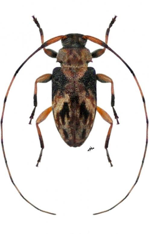 Urgleptes laxicollis