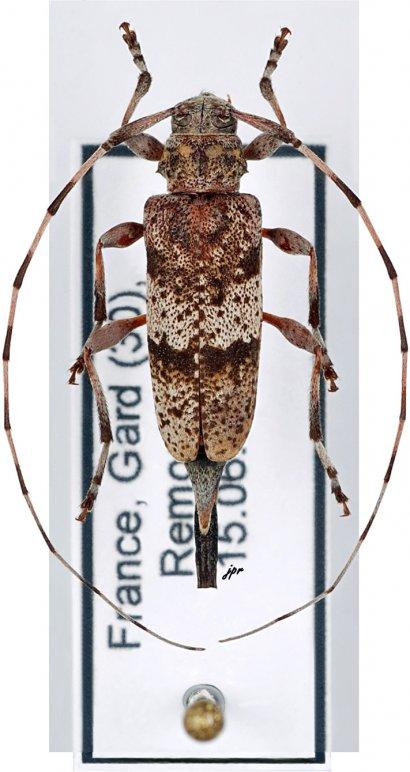 Acanthocinus griseus