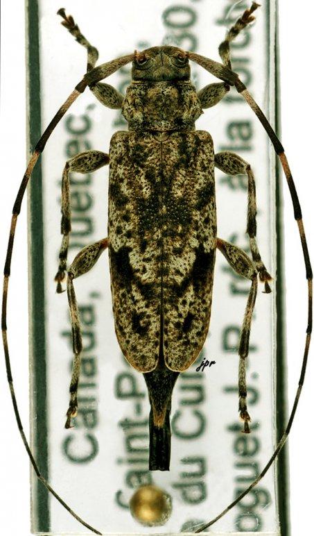 Acanthocinus pusillus
