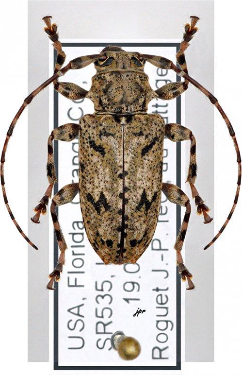 Aegomorphus modestus