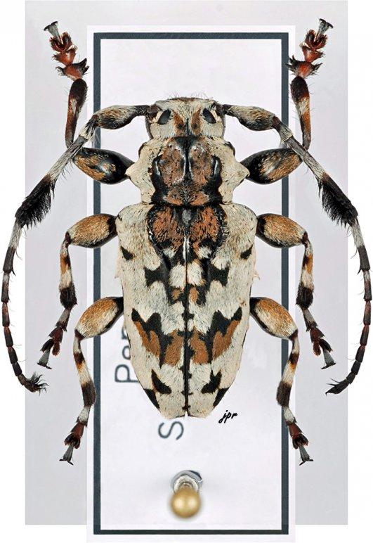 Anasillus crinitus