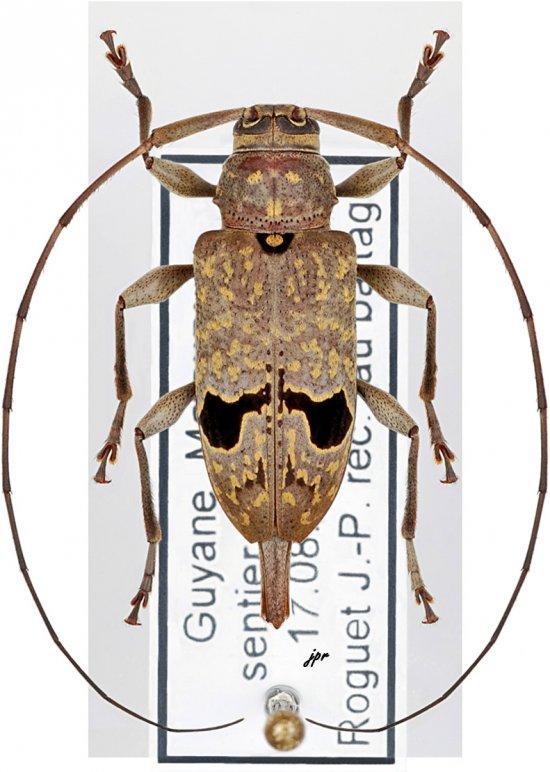 Hylettus coenobita