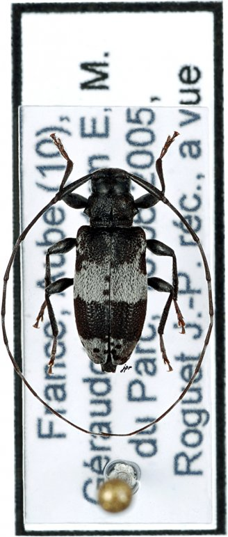 Leiopus punctulatus