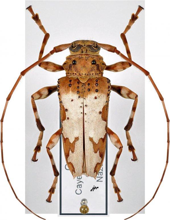 Oreodera jacquieri