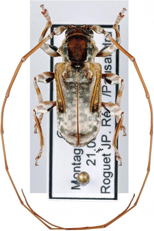Pseudaethomerus lacordairei