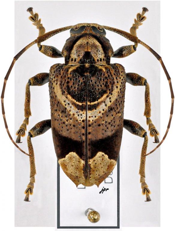 Trypanidius andicola