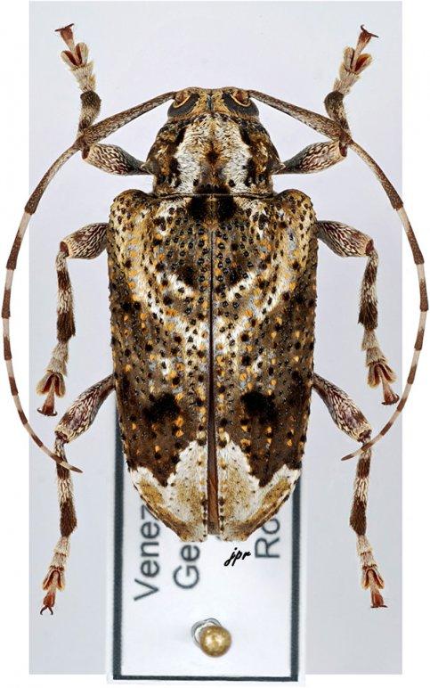 Trypanidius irroratus