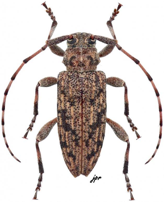 Aderpas congolensis congolensis
