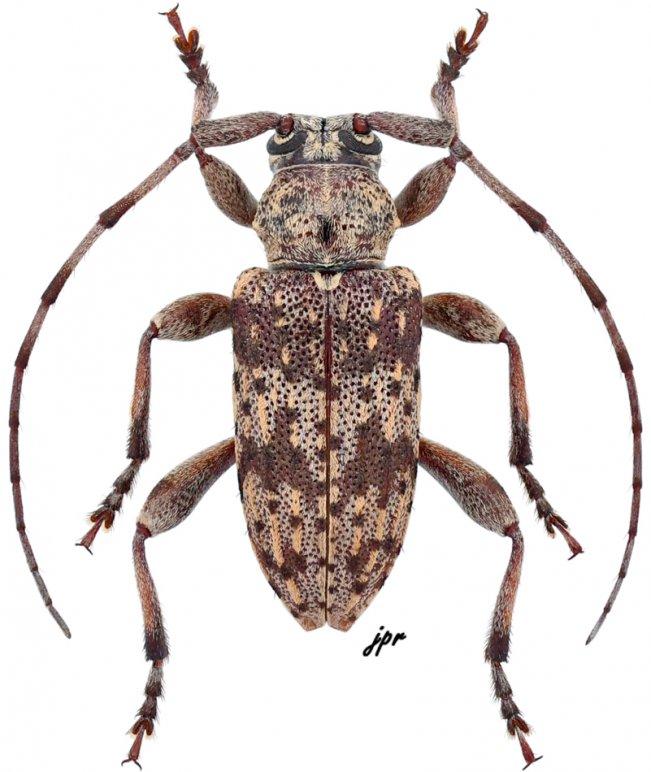 Aderpas congolensis quadricostatus