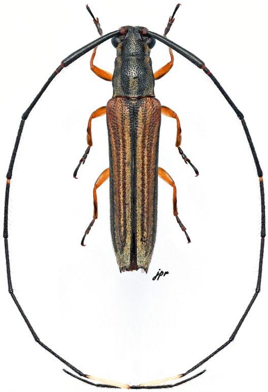 Anauxesida camerunica