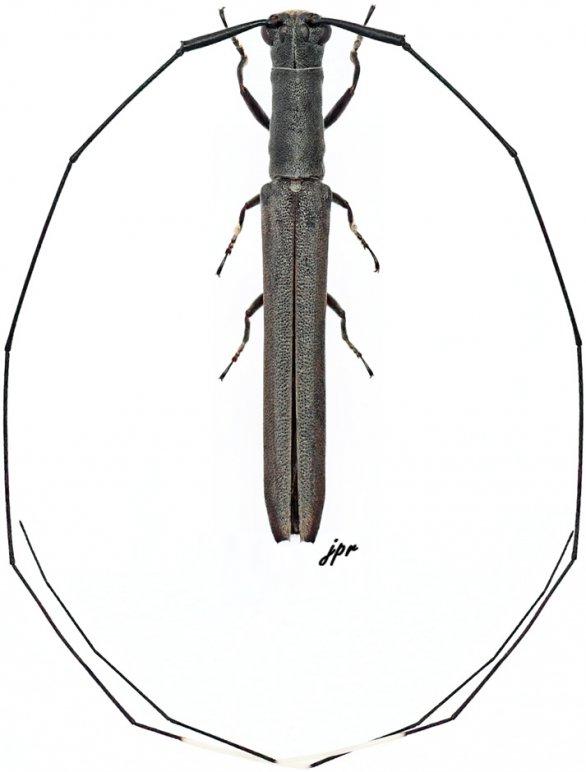 Anauxesis kolbei