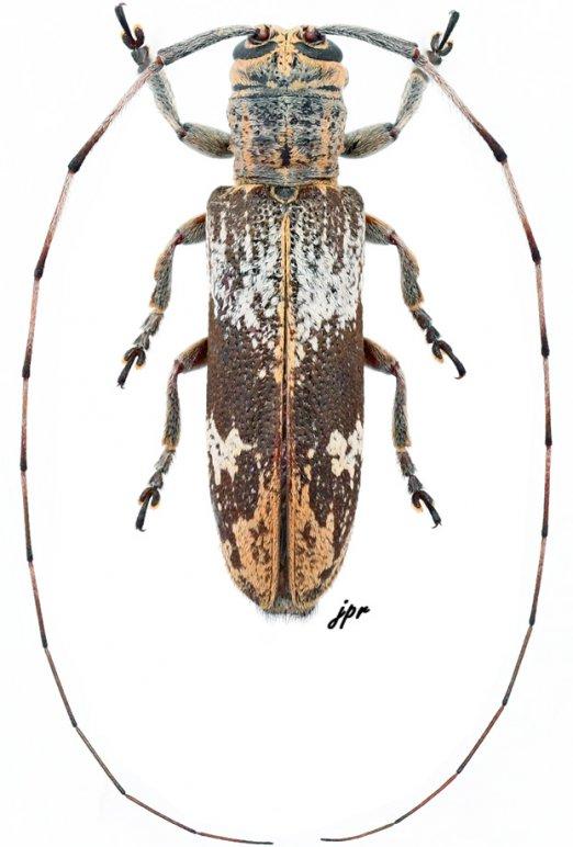 Phelipara saigonensis
