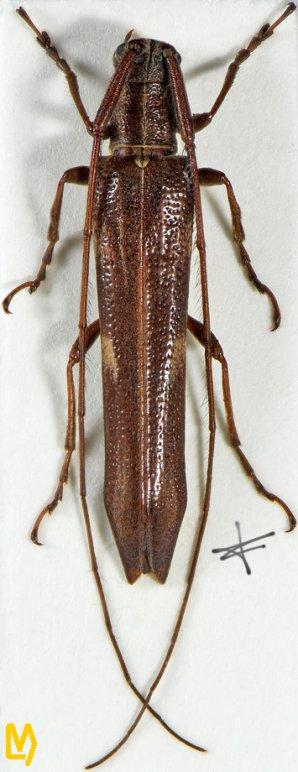 Pseudocalamobius proximus