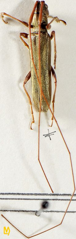 Pseudocalamobius