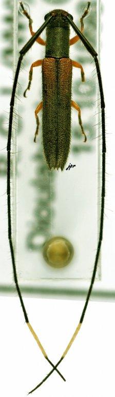 Anauxesida longicornis