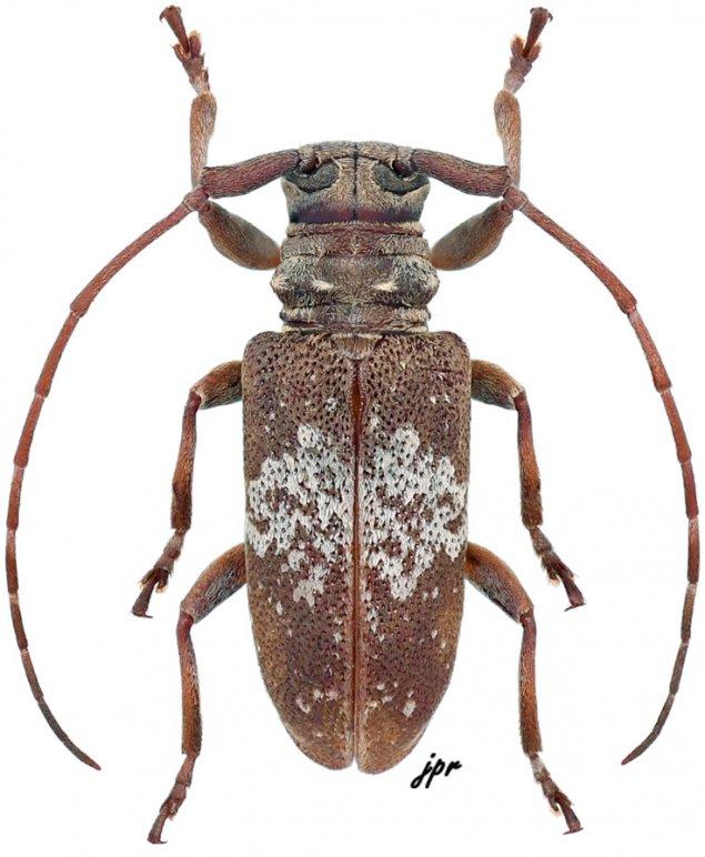 Ancylonotopsis albomarmoratus