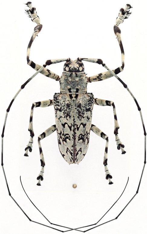 Ancylonotus tribulus hieroglyphicus