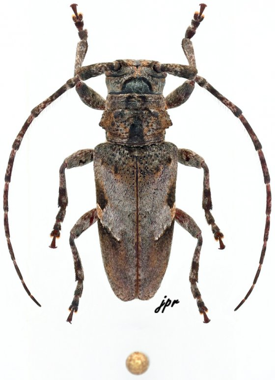 Idactus lateralis