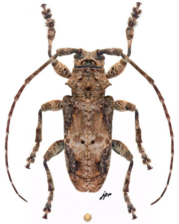 Idactus rusticus