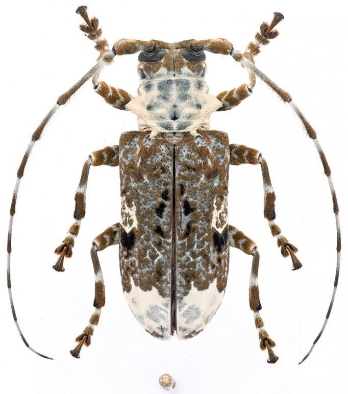 Lasiopezus longimanus