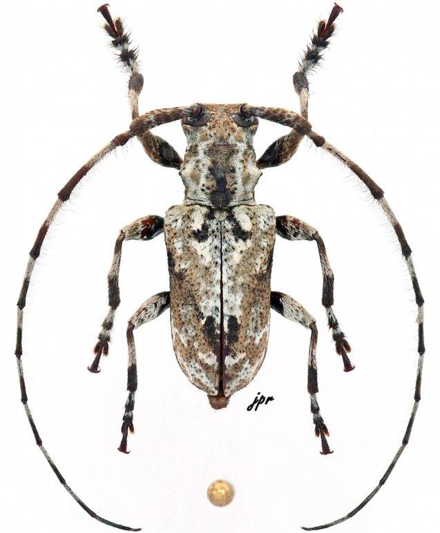 Pseudopezus binigromaculatus