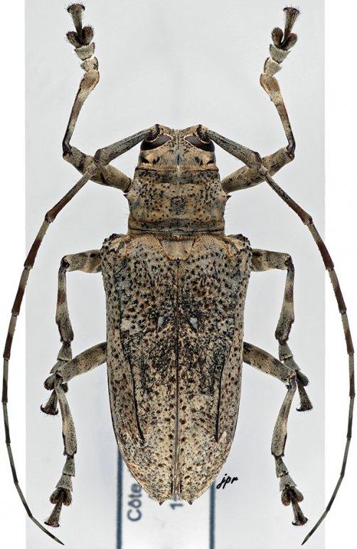 Ancylonotus tribulus tribulus