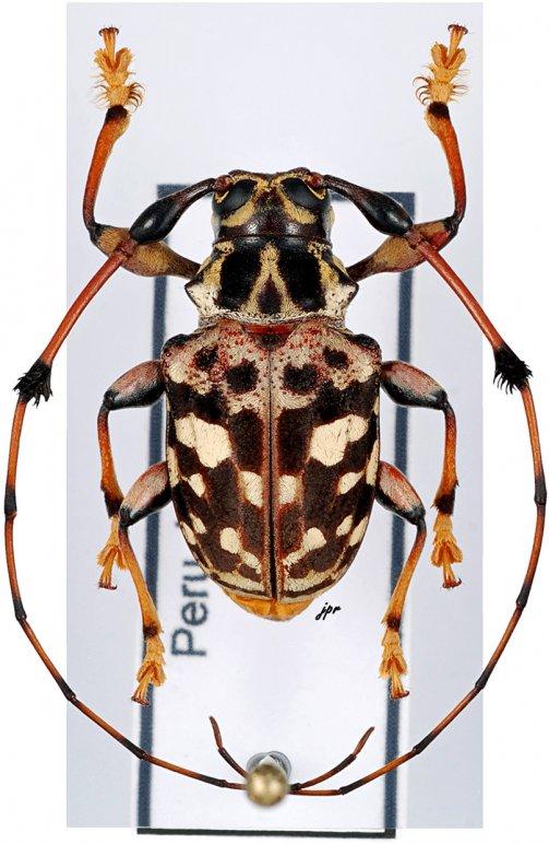 Anisocerus stellatus