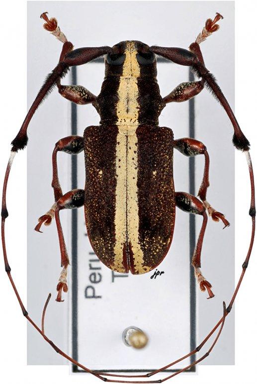 Caciomorpha genalis