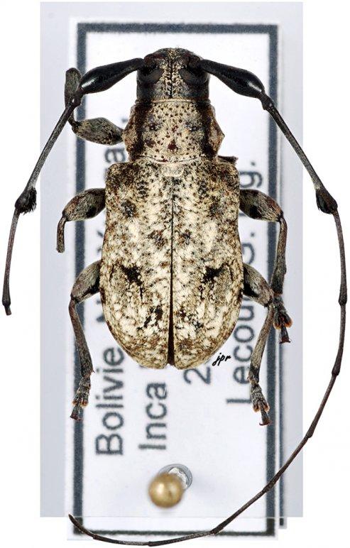 Caciomorpha robusta