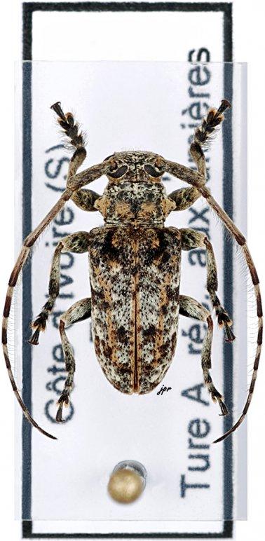 Cnemolia leonensis