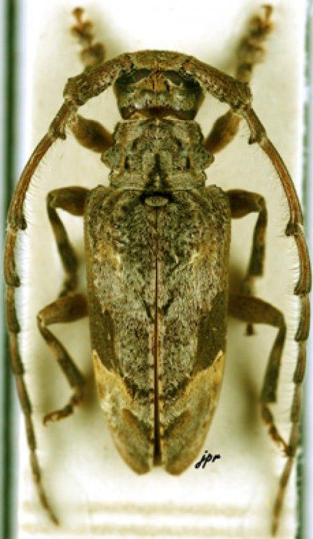 Idactus flavovittatus