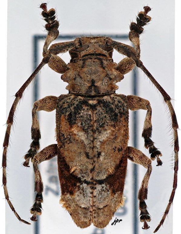 Falsidactus parabettoni
