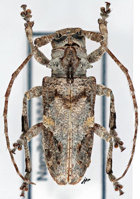 Idactus strandi plurifasciculatus