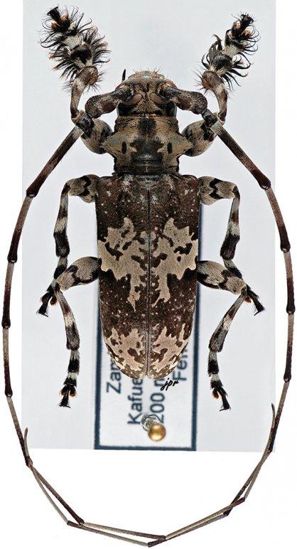 Lasiopezus nigromaculatus