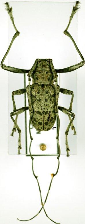 Latisternum macropus