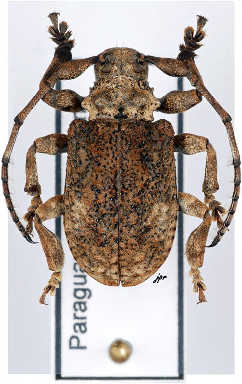 Onychocerus aculeicornis
