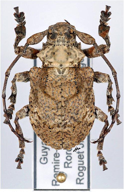 Onychocerus scorpio