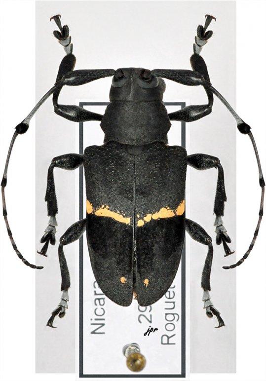 Parachalastinus rubrocinctus